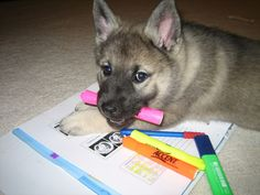 Norwegian Elkhound Puppy studying for med school