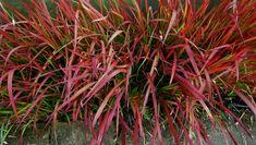 Imperata cylindrica 'Red Baron'  Siergrassen gratis tuinontwerp bamboekwekerij Kimmei Valkenswaard