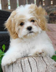 Cavalier King Charles Spaniel and Bichon mix (Cavachon) - typically non-shedding and hypoallergenic! Cavachon Puppies, Cute Puppies, Cute Dogs, Doberman Puppies, Cavapoo, Bichons, King Charles Spaniel, Cavalier King Charles, Animals Beautiful