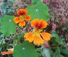 Blomkarse Phoenix med spiselige blomster og blader Planters, Gardening, Lawn And Garden, Plant, Window Boxes, Pot Holders, Horticulture, Flower Planters, Pots