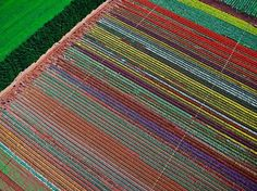 Aerial view from a helicopter of the tulip field at the Table Cape Tulip Farm on Table Cape, near Wynyard, on the North West Coast of Tasmania. It was Blooming Tulips Festival Day at Wynyard and fortunately for me and my six-year-old grandson, the helicopter operator was selling 15 minute joy-flights. On the left-hand end of the rows of tulips you can see some of the visitors to the farm's open day.