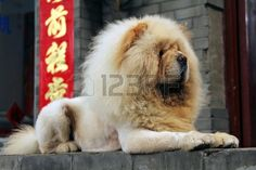 Chow Chow in lion cut