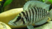 Besatz im Aquarium Tanganjikatümpel (Nur noch als Beispiel)