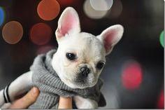 french bulldog!!