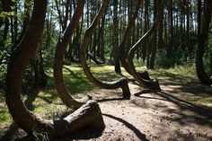 12. This picture of a forest wasn't distorted: actually, there is a section of trees in Poland that grew like this because of extreme weather conditions.