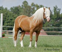 Penwisg Llew RWM 37 - sec A stallion  - Sweden -