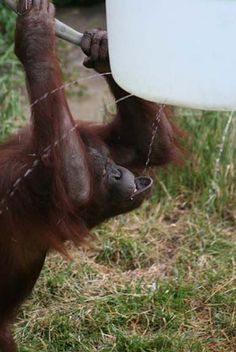"""Primate Non-Food Enrichment""... A rain barrel for primates? How fun is that?!"