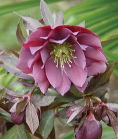 Hellebore, Kingston Cardinal,