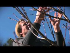 Coaxing Fruit Out of Peach Trees: At Home with P. It's Dormant Oil that he sprayed it with and it suffocates insect eggs. Peach Tree Care, Peach Trees, Farm Gardens, Outdoor Gardens, Container Gardening, Gardening Tips, Insect Eggs, Allen Smith, Good Morals