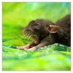 she has the best rat photos! aww!