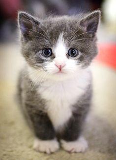 96 meilleures images du tableau Chat gris et blanc