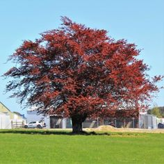 This glorious tree has really stood out this spring with its bright new copper red foliage looking fantastic and escaping the worst of our spring winds here in the deep south (winds were earlier in season this year) Creates a beautiful feature tree which also trims into an attractive formal hedge or screen. Deciduous, grows to 8-10m x 4-5m (or can be trimmed into a 1.5-2m tight formal hedge)