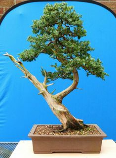 Bonsai Photo of The Day 12/28/16