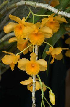 Orchid Dendrobium fimbriatum - Inflorescence