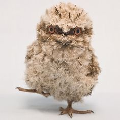 A Tawney Frogmouth chick born at Seaworld Orlando