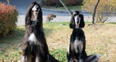 """Snuppy, the world's first cloned dog, has genome that closely matches the DNA of his donor dog, Tai.   telomere length is about the same in the dogs. Tai is 10.5 years old, That probably accounts for his (?) smaller size, diminished hair quality, and """"hang-dog"""" demeanor."""