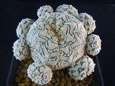 1108 1780 Astrophytum asterias V /succulents/cactus/Plant