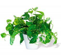 10 Plantas Purificadoras de Aire para eliminar Toxinas - El Potus, o Poto, es una planta que necesita poca luz y fácil de cuidar que sirve para cualquier ambiente y absorbe las toxinas del: Formaldehído Xileno