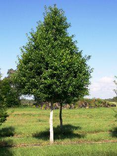Savannah Holly Tree Selection Landscape Plants Edward F Gilman Picture