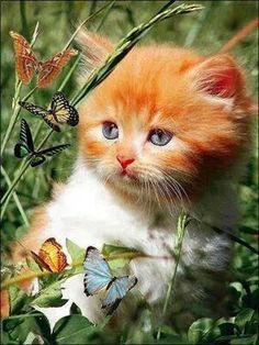gattino farfalle