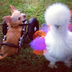 Two-legged dog and fluffy chicken are best friends