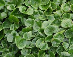 Asarum europaeum - schaduw, wintergroen, onder boom, bodembedekker