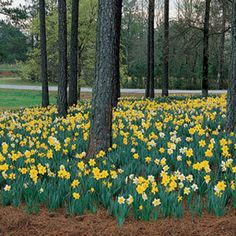 High Cotton Daffodil Mix - Pack of 10