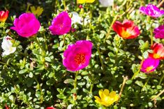 Purslane is a tasty, easy-to-grow 'weed' and a rich source of Mother Earth News, Organic Gardening, Weed, Flowers, Plants, Gardens, Image, Outdoor Gardens, Marijuana Plants