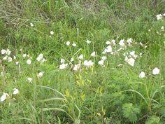 oklahoma wildflower landscape | Oklahoma Wildflowers
