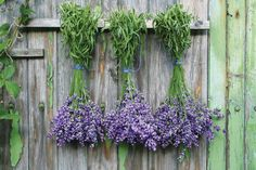 Drying bunches of lavender