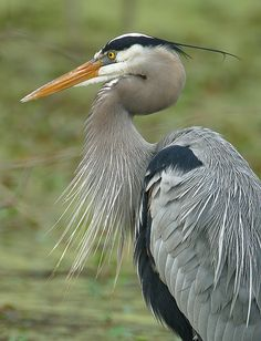 great blue heron by amaw, via Flickr