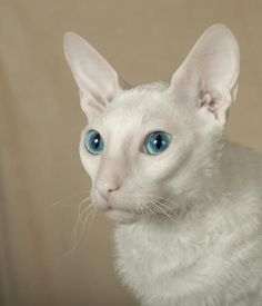 This blue-eyed, white Cornish Rex is stunning. It's a fact that white cats with blue eyes have a higher-than-average chance of being deaf, but that's not the case with every cat that has this color combination. Siamese Kittens, Cats And Kittens, Tabby Cats, Funny Kittens, Bengal Cats, Adorable Kittens, Pretty Cats, Beautiful Cats, I Love Cats