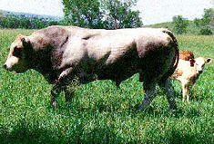 Breeds of Livestock - Piedmontese Cattle — Breeds of Livestock, Department of Animal Science