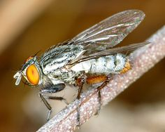 Family Sarcophagidae - Flesh Flies