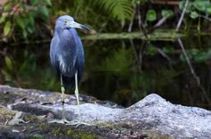 Curious blue #heron walked out on a log to check us out, kayakers sharing a peaceful afternoon #Nikon #wildlife #photography
