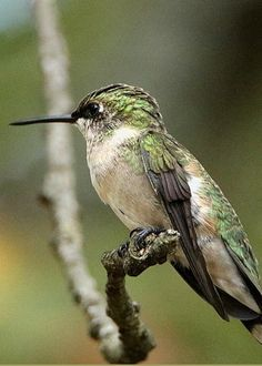 Female Ruby-throated Hummingbird On Branch by Sheila Brown