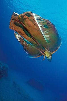 A real Blanket Octopus! NOT made of octopus. Amor Animal, Mundo Animal, Under The Ocean, Sea And Ocean, Fish Ocean, Beautiful Sea Creatures, Animals Beautiful, Blanket Octopus, Fauna Marina