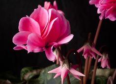 A special plant, Cyclamen Masako