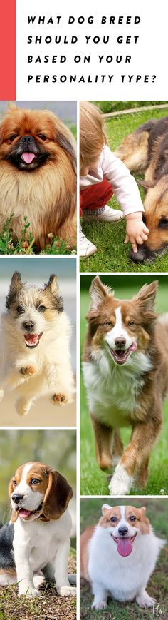 What Dog Breed Should You Get Based on Your Personality Type? #dogbreeds #dogs #puppies