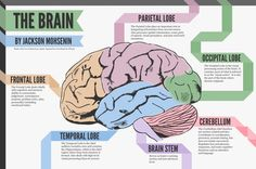 Jackson Mohsenin illustrates the different parts of the human brain in this easy to consume illustration.