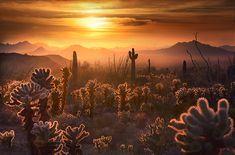 """LIGHTCATCHERS""  Kofa Mountains, Arizona.  Cholla Cactus catch the glow of sunset in a dusty Arizona desert.  by Marc Adamus."