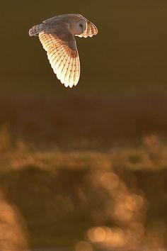 wonderous-world:  Barn Owl - Sussex, UK by Tony Skerl