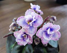 """Afican Violet """"Persian Lace""""  https://www.houseplant411.com/houseplant/african-violet-how-to-grow-care"""