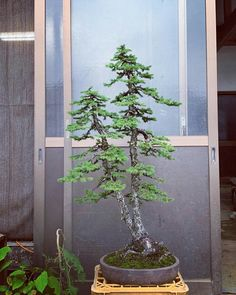 Indoor Bonsai Tree, Bonsai Styles, Potted Trees, Bonsai Garden, City Landscape, Tropical Flowers, Horticulture, Gardening, Arm Tattoo