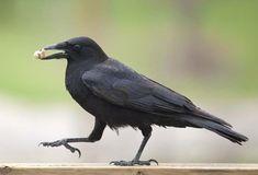 "The American Crow: Redefining ""birdbrain"""