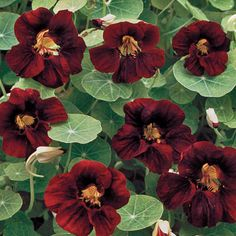 Black Velvet Nasturtium Flower - Seed Savers Exchange. Blossoms are chocolate-black Blossoms are edible Great for container growing