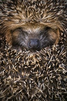"llbwwb: "" Rolled up Hedgehog by AnimalKingdom """