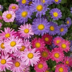 Shop for Aster Seeds by the Packet or in Bulk.Com offers the Finest and Freshest Aster Flower Seeds Anywhere. Colorful Flowers, Purple Flowers, Beautiful Flowers, Cut Flowers, Pink Purple, Pink White, Single Flowers, Spring Flowers, Gardening Zones