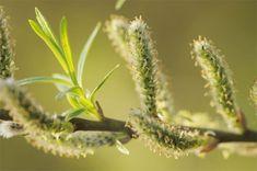 Многие люди даже не подозревали, что ива это мощное средство от многих недугов. Ива растет обычно в любом месте, где много воды, это дерево неприхотливое. Наши бабушки ее называли - весенние одуванчи…