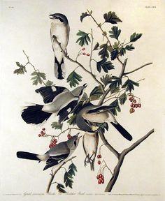 Google Image Result for http://www.aradergalleries.com/prints/images/25_Audubon/ab_greatCinereousShrike_orButchBirdCXCII.jpg